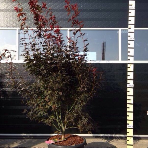 acers1